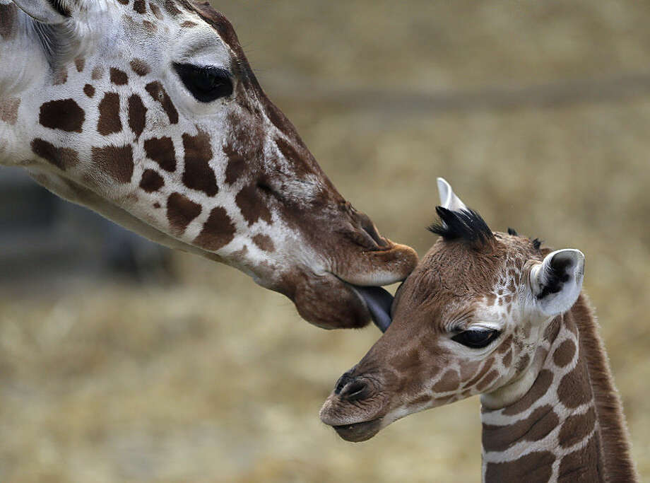 A two day old female reticulated giraffe, also known as the Somali giraffe, is licked by her mother Malindi in the indoor enclosure at the Zoo in Duisburg, Germany, Friday, Feb. 13, 2015. (AP Photo/Frank Augstein)