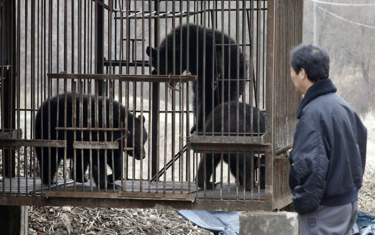 In this photo taken on Jan. 24, 2014, South Korean Kim Kwang Soo, the owner of bears looks at his bears inside a cage, at his bear farm in Dangjin, south of Seoul, South Korea. Several bears lie stacked on top of each other, as still as teddy bears, as they gaze out past rusty iron bars. Others pace restlessly. The ground below their metal cages is littered with feces, Krispy Kreme doughnuts, dog food and fruit. They?'ve been kept in these dirty pens since birth, bred for a single purpose: to be killed for their bile. (AP Photo/Lee Jin-man)