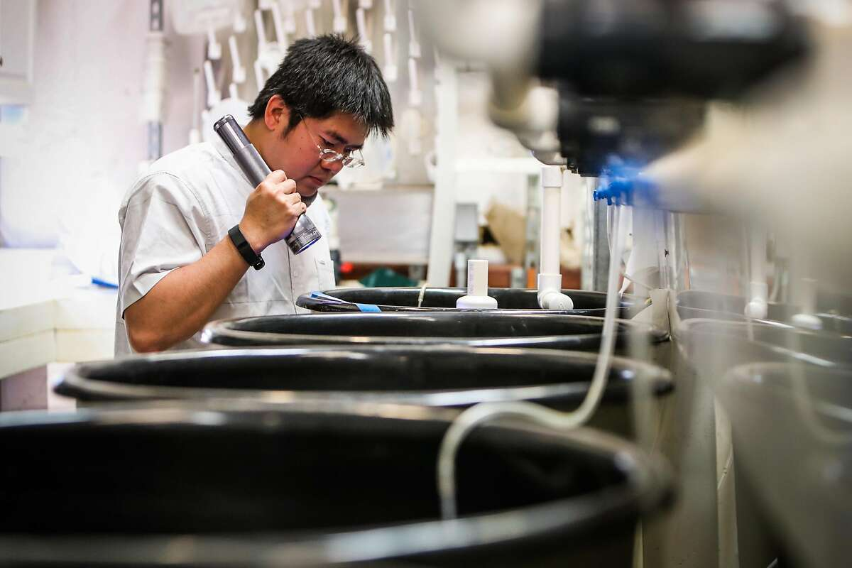 Dr.Tien-Chieh Hung, Director of the Fish Culture and Conservation Laboratory shines a light into the tanks of delta smelt fish at the lab, in Byron, California, on Friday, June 10, 2016.