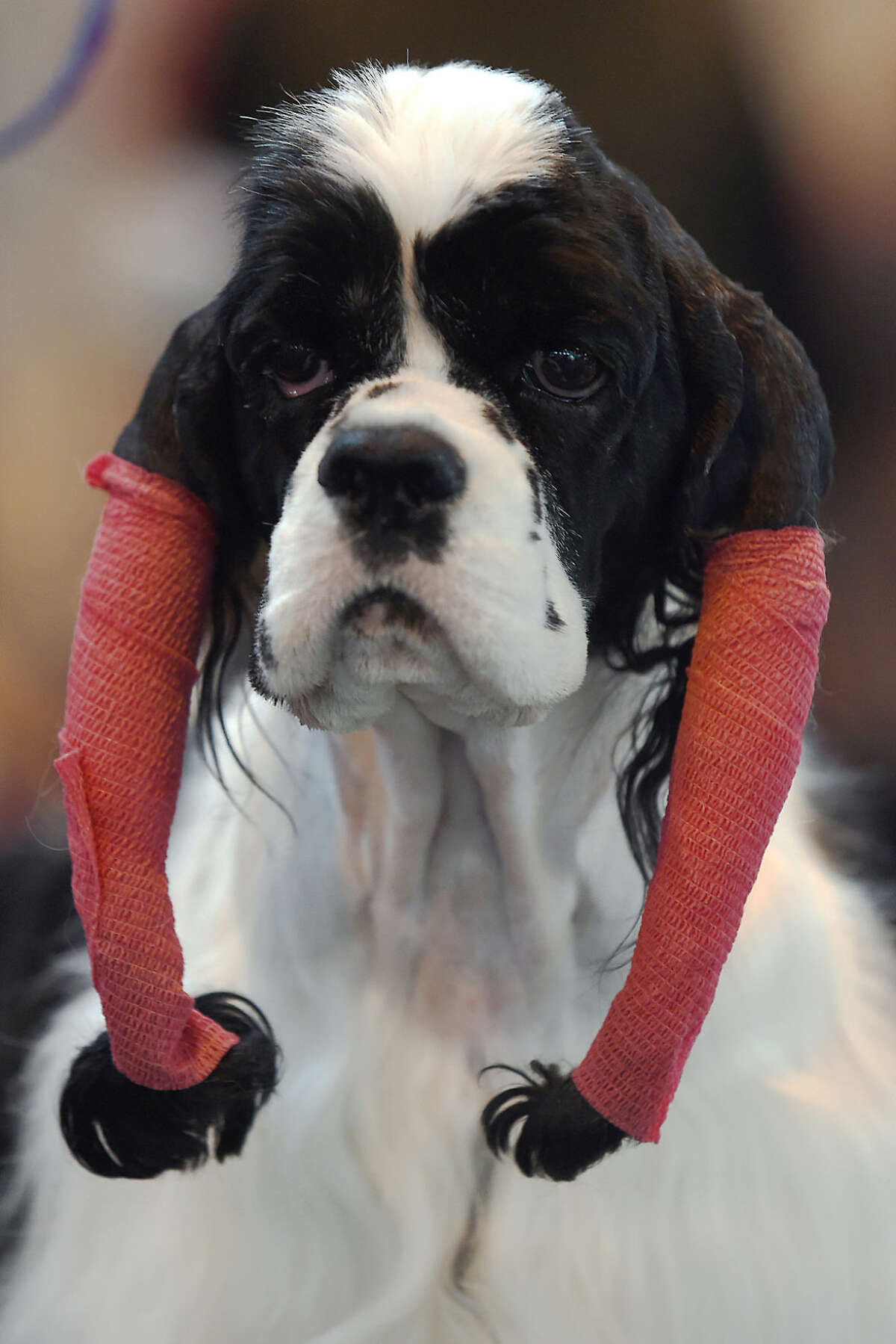 An American Cocker Spaniel named Eva prepares for the competition, during day two of Crufts 2016, at the NEC, Birmingham, England, Friday March 11, 2016. Crufts one of the most prestigious dog show in the world concludes Sunday with the awarding of the supreme champion. (Joe Giddens/PA via AP) UNITED KINGDOM OUT NO SALES NO ARCHIVE