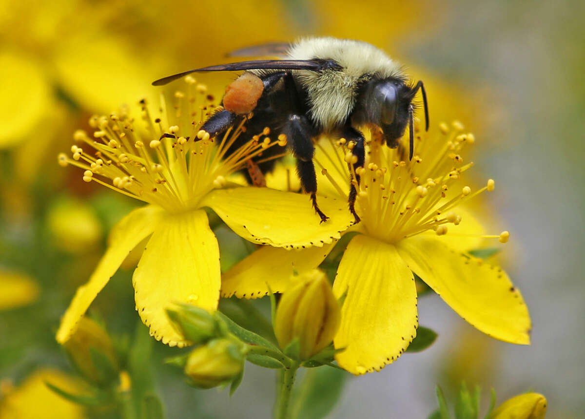 FILE - In this July 8, 2015 file photo a bumblebee gathers nectar on a wildflower in Appleton, Maine. A United Nations sponsored scientific mega-report warns that too many species of pollinators are nearing extinction. These are bees, butterflies, even some birds and 20,000 other species that are crucial to the world's food supply. (AP Photo/Robert F. Bukaty, File)