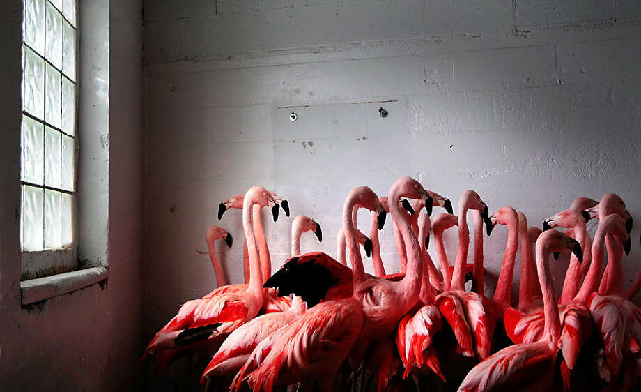 In this Tuesday, Feb. 17, 2015, photo, flamingoes at the Memphis Zoo huddle together for warmth in Memphis, Tenn. Low temperatures gripped the South on Wednesday, refreezing the snow and ice and making roads hazardous. (AP Photo/The Commercial Appeal, Jim Weber)