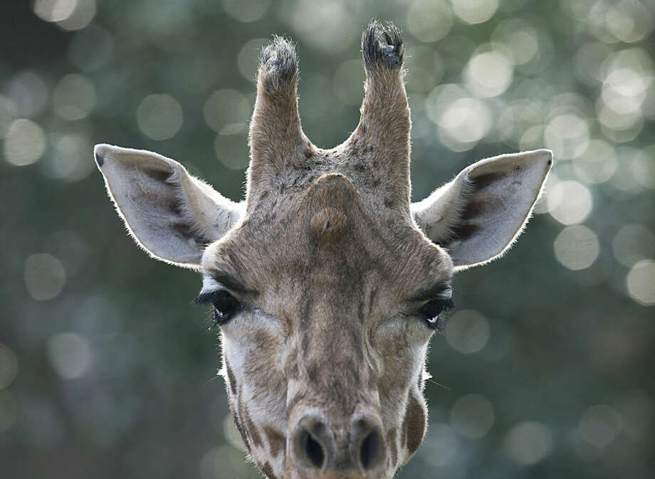 A giraffe observes visitors on a sunny day at Ouwehands Zoo in Rhenen, Netherlands, Thursday, Feb. 19, 2015. (AP Photo/Peter Dejong)