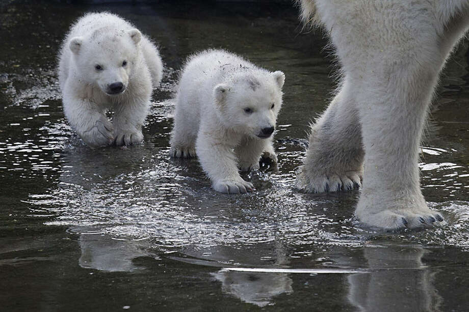 Two polar bear cubs follow their mother as they venture outside their enclosures for the first time since they were born at Ouwehands Zoo in Rhenen, Netherlands, Thursday, Feb. 19, 2015. Three cubs were born Nov. 22, 2014 but one of the triplets died soon after birth, the cub's mother and grandmother live at the zoo, their father now lives at the Yorkshire Wildlife Park in England. (AP Photo/Peter Dejong)