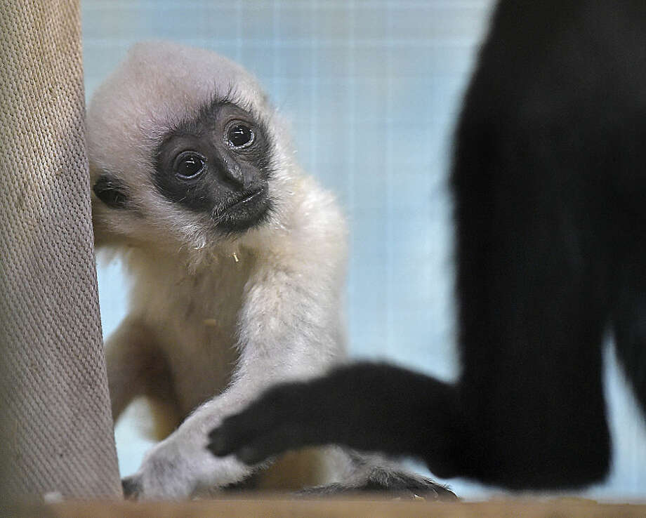 A female white-cheeked gibbon baby watches its father at the zoo in Duisburg, Germany, Friday, Feb. 20, 2015. (AP Photo/Martin Meissner)