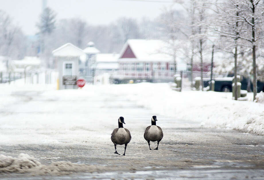 Two geese leave Veteran's Park after the snow storm Sunday morning. Hour Photo / Danielle Calloway