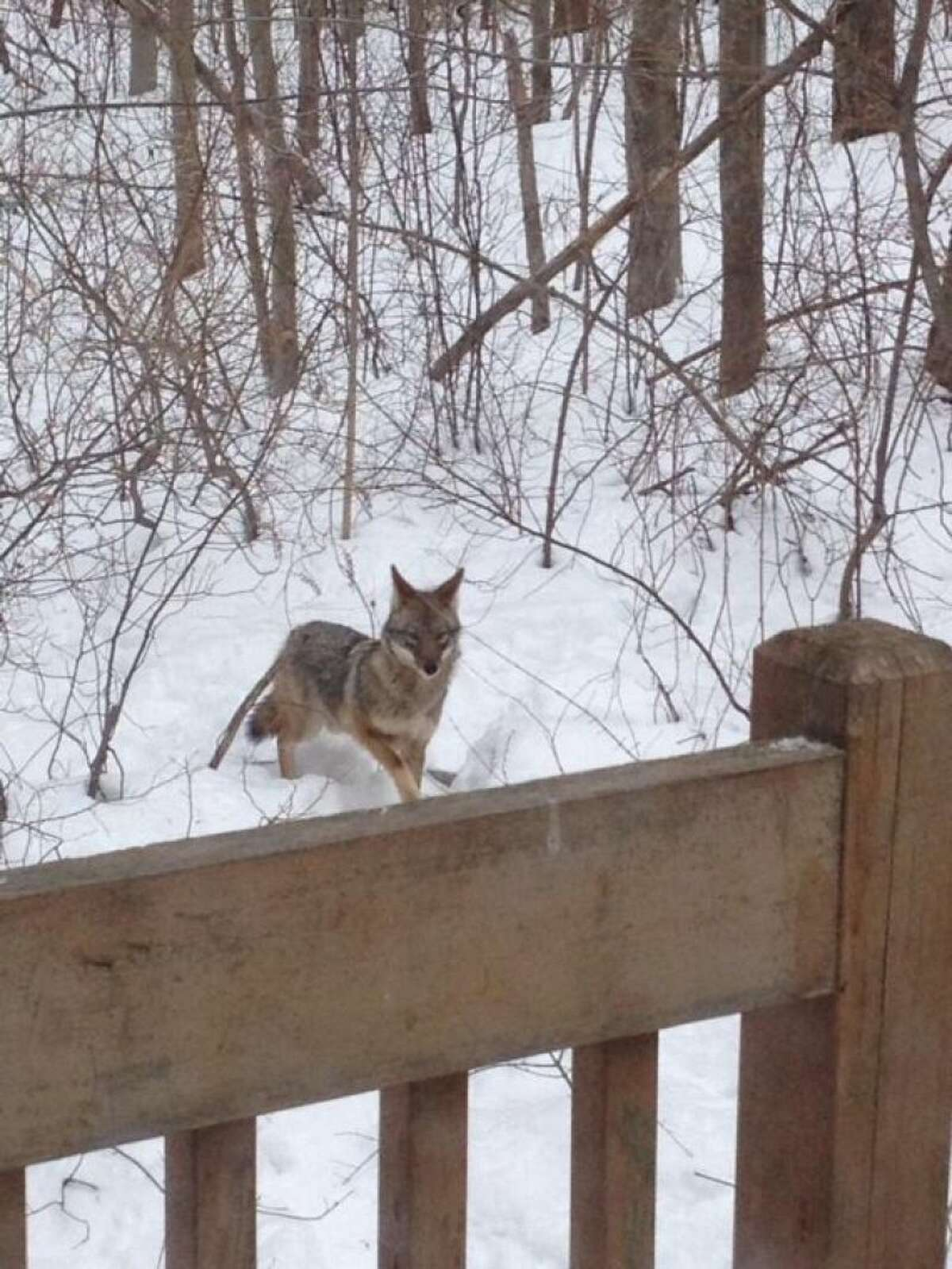 Coyotes spotted in Wolfpit/Cranbury area of Norwalk.