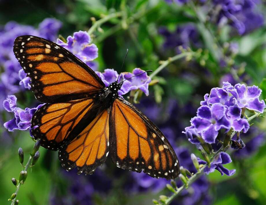 A monarch butterfly feeds on a duranta flower in Houston. Photo: Pat Sullivan, STF / Copyright 2016 The Associated Press. All rights reserved. This material may not be published, broadcast, rewritten or redistribu