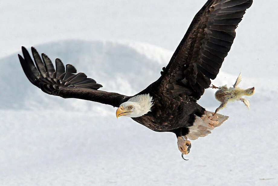 A bald eagle flies with a dead chicken plucked from the snow in a farmer's field, Thursday, Feb. 26, 2015, near Sheffield Mills, Nova Scotia. The carcass was from the die-offs of local chicken farms that are put out every year for a variety of hawks and eagles to feast on. (AP Photo/The Canadian Press, Halifax Chronicle-Herald, Tim Krochak)