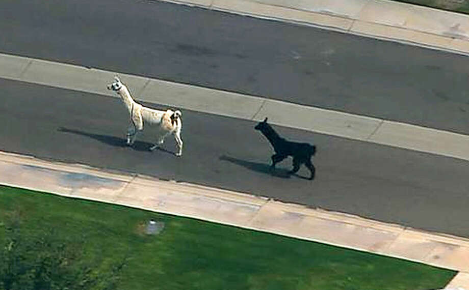 In this image taken from video and provided by abc15.com, two quick-footed llamas dash in and out of traffic in a Phoenix-area retirement community before they were captured, Thursday, Feb. 26, 2015, in Sun City, Ariz. The llamas thwarted numerous attempts by Maricopa County Sheriff's deputies and bystanders to round them up before they were roped into custody. (AP Photo/abc15.com) MANDATORY CREDIT.