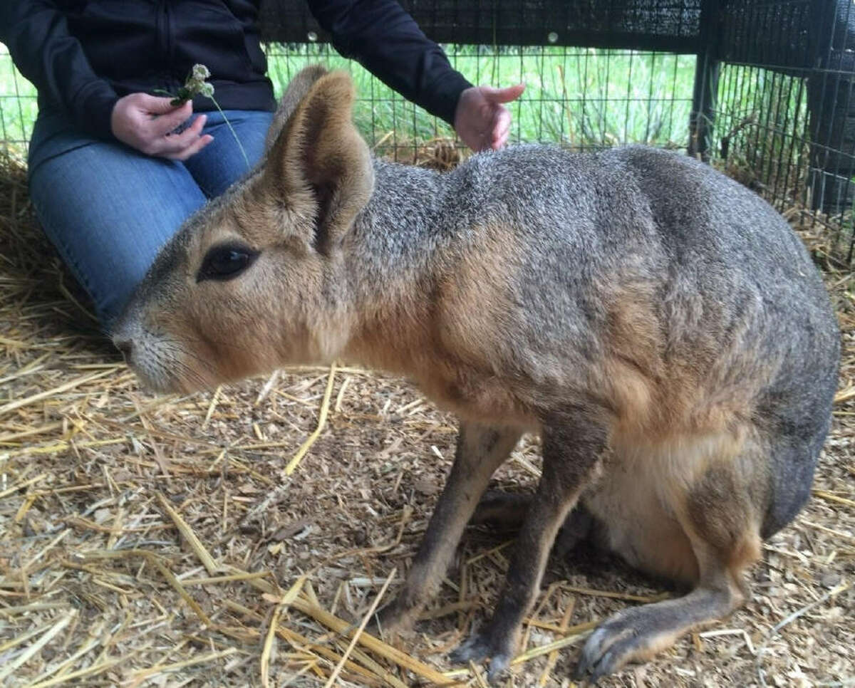 Oregon TV station KVAL jokingly reports that a chupacabra was brought into a local animal station.