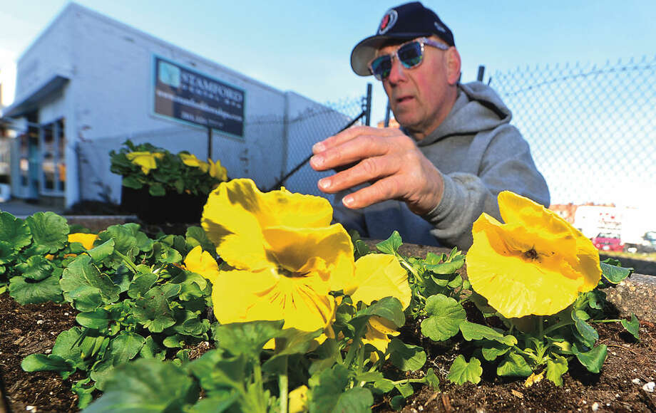 Hour photo / Erik Trautmann The Stamford Downtown Streetscape Volunteers including Jim Sabia mark the advent of Spring with the planting of thousands of pansies in planters along Broad Street to brighten the downtown area.