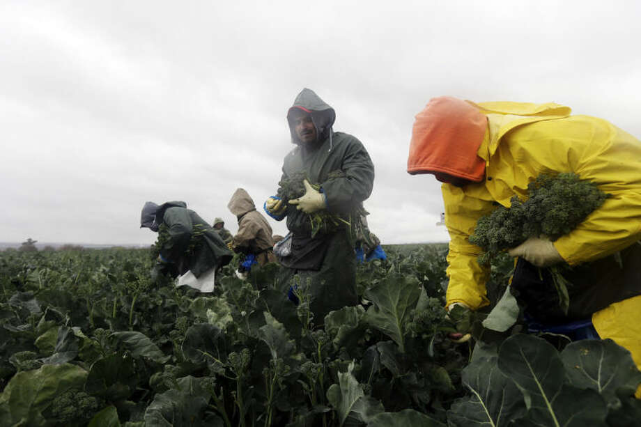 Farmworkers pick broccolini in the rain on Wednesday, Feb. 26, 2014, in King City, Calif. A potentially stronger storm is expected to move in late Thursday, bringing much needed rain in central and southern valleys and snow to the mountains in the drought-stricken state. (AP Photo/Marcio Jose Sanchez)