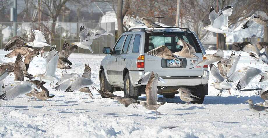 Hour Photo/Alex von Kleydorff Hungry seagulls look for food near a car at Calf pasture on Monday