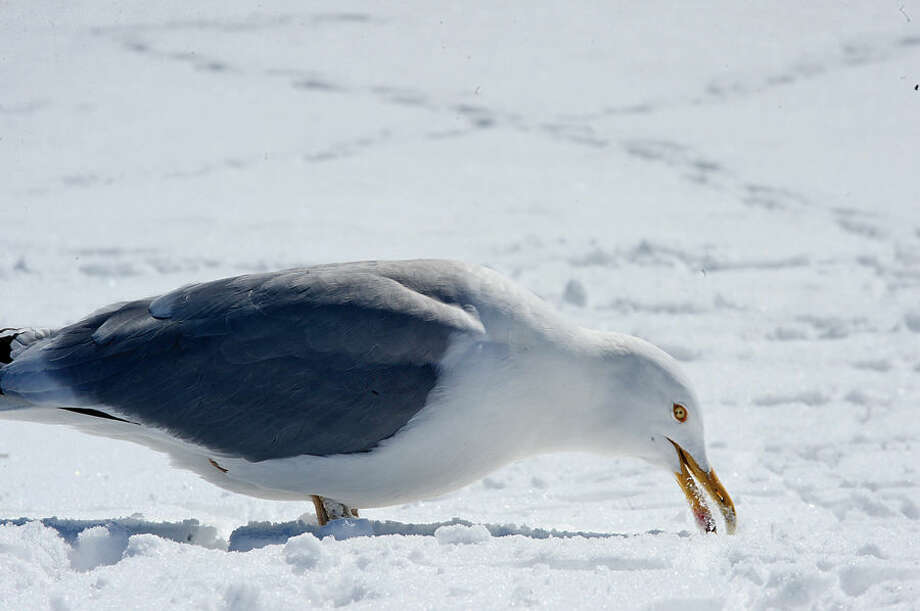 Hour photo / Erik Trautmann A seagull eats snow at Calf Pasture Beach Friday.