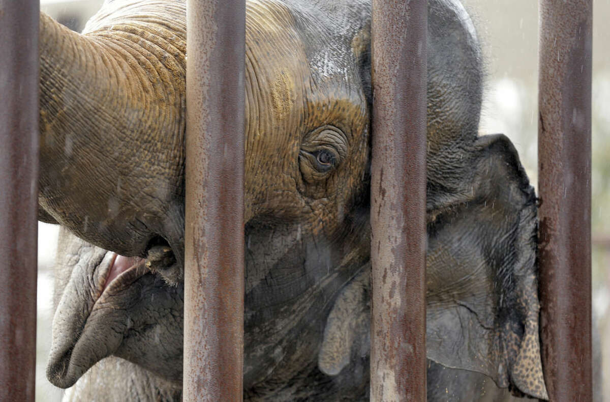 In this Tuesday, Feb. 24, 2015 photo, a male elephant scratches on the bars of his pen at the Ringling Bros and Barnum & Bailey Center for Elephant Conservation in Polk City, Fla. The Ringling Bros. and Barnum & Bailey Circus said it will phase out its iconic elephant acts by 2018. (AP Photo/Chris O'Meara)