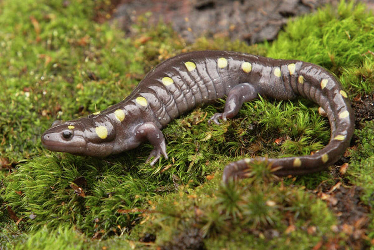Paul J. Fusco, DEEP Wildlife Division One of the surest signs of spring is the mass migration of spotted salamanders. These underground dwellers emerge from winter dormancy with the season's first warm rains, and then travel to their breeding pools.