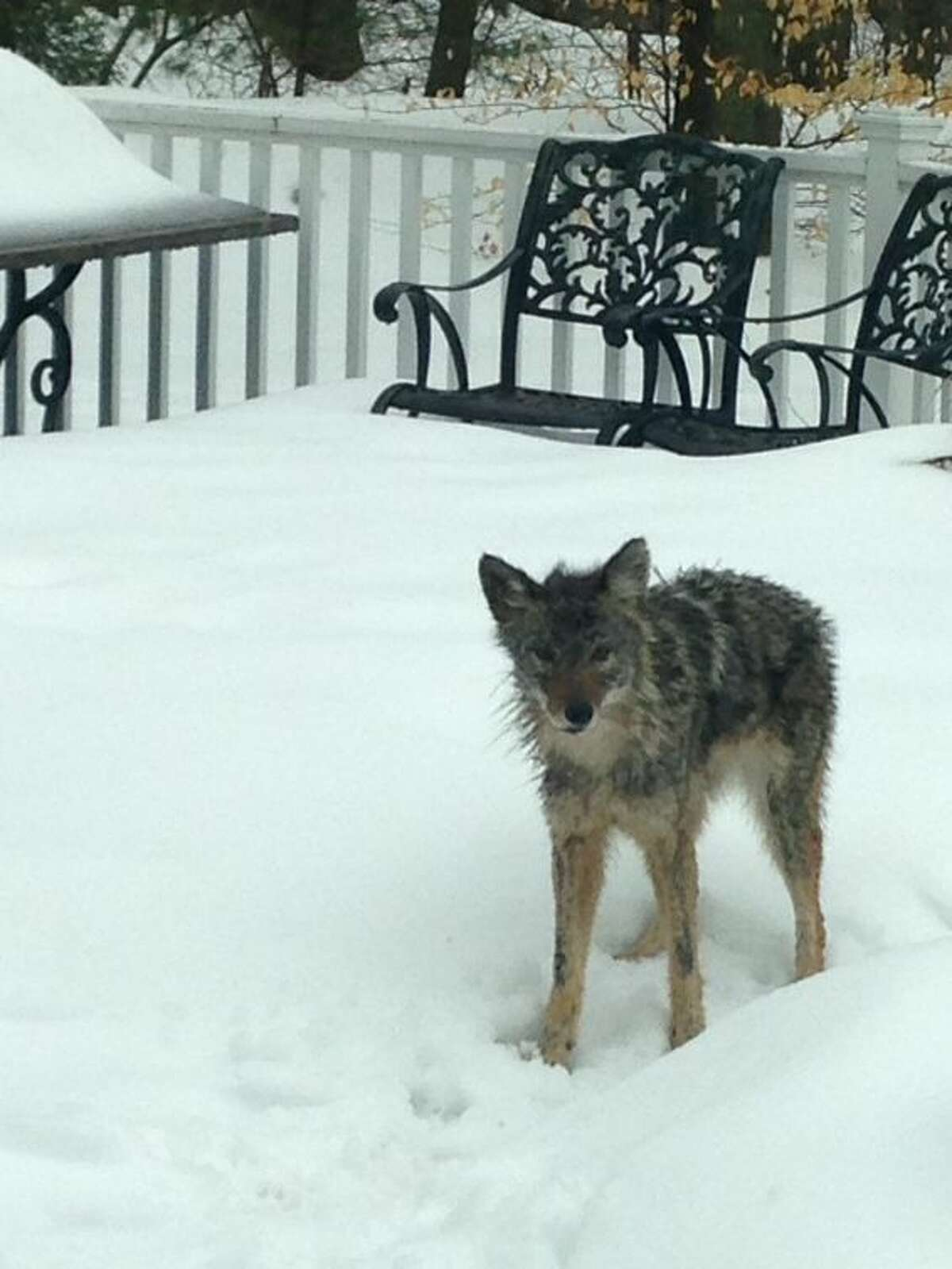 This photo provided by the Stamford Police Department shows a wild coyote that has been roaming the woods of North Stamford and attacking domestic animals.