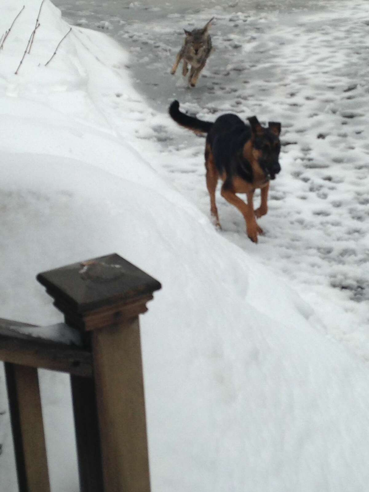 A Stamford homeowner captured this photo, provided by the Stamford Police Department, of a wild coyote chasing his dog.