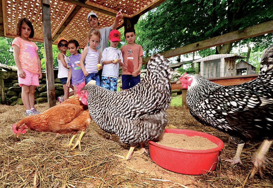 Campers get a chance to feed chickens as Ambler Farm begins its summer programs for preschoolers and students grades 1-7 this week through July. The programs introduce children to animals on the farm, harvesting, woodworking and planting. / (C)2013, The Hour Newspapers, all rights reserved