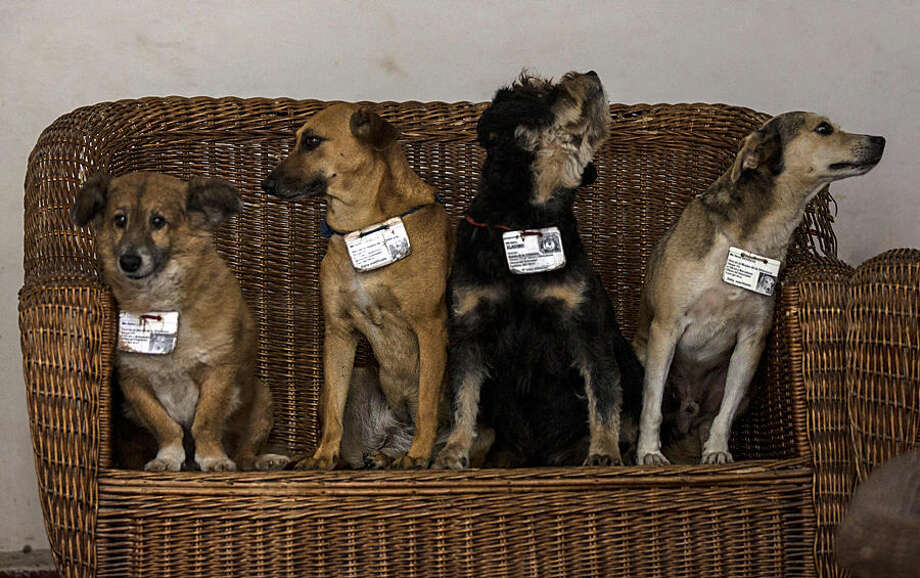 "In this March 13, 2015 photo, former street dogs, from left, Leon, Canela, Vladimir, and Aparicio, pose for a group photo inside their home at the Old Havana Museum of Metalwork in Havana, Cuba. The institution's fifth dog, Carinoso, wasn't at the museum during the portrait session. Dogs in Old Havana benefit from the presence of dozens of state restaurants that donate leftovers to the animals. ""They don't eat bones,"" said Victoria Pacheco, a guard in the metalwork museum. ""They eat cold cuts, mincemeat, hot dogs and liver."" (AP Photo/Ramon Espinosa)"