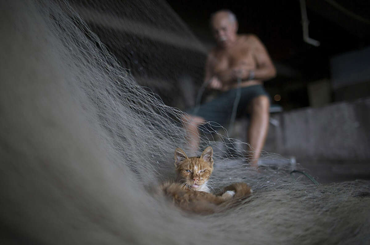 In this Feb. 28, 2015 photo, a street cat that survives on fish scraps nestles on a net being repaired by Manuel Batista de Moraes at the dock in the Vila Pinheiro slum, part of the Mare complex in Rio de Janeiro, Brazil. The 76-year-old fisherman no longer goes out on the water and makes his living mending fishing nets. It's a constant task, he said, because the trash that fishermen encounter rips the nets apart. (AP Photo/Leo Correa)