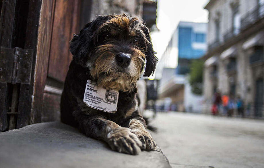 In this March 13, 2015 photo, former street dog Vladimir wears an ID collar that gives his name and residence, as he sits at the entrance of the Old Havana Museum of Metalwork in Havana, Cuba. Cuban law banning animals from workplaces contains an exemption for guard dogs. This legal cover for the ex-strays was bolstered when a dog at a government office awakened a guard one night by barking when she heard would-be thieves removing air conditioners from the windows, according to Nora Garcia, president of the Cuban Association for the Protection of Plants and Animals. (AP Photo/Ramon Espinosa)