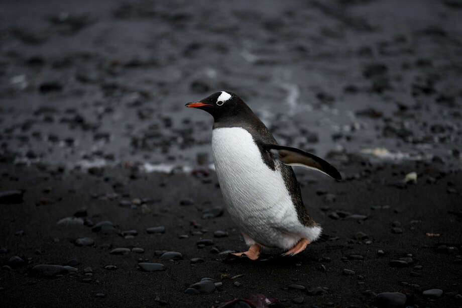 In this Jan. 26, 2015 photo, a Gentoo penguin waddles past on the shore of Punta Hanna, Livingston Island, South Shetland Island archipelago, Antarctica. While some tourists climb Mount Vinson, Antarctica's highest point at 16,050 feet (4,892 meters), others seek a chance to take in the views of other-worldly terrain or enjoy watching the penguins. (AP Photo/Natacha Pisarenko)
