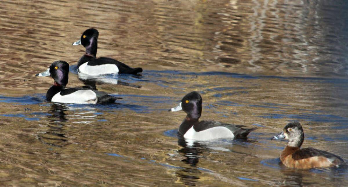 Photo by Chris Bosak Ring-necked Ducks swim at Selleck's/Dunlap Woods in Darien, March 2014.