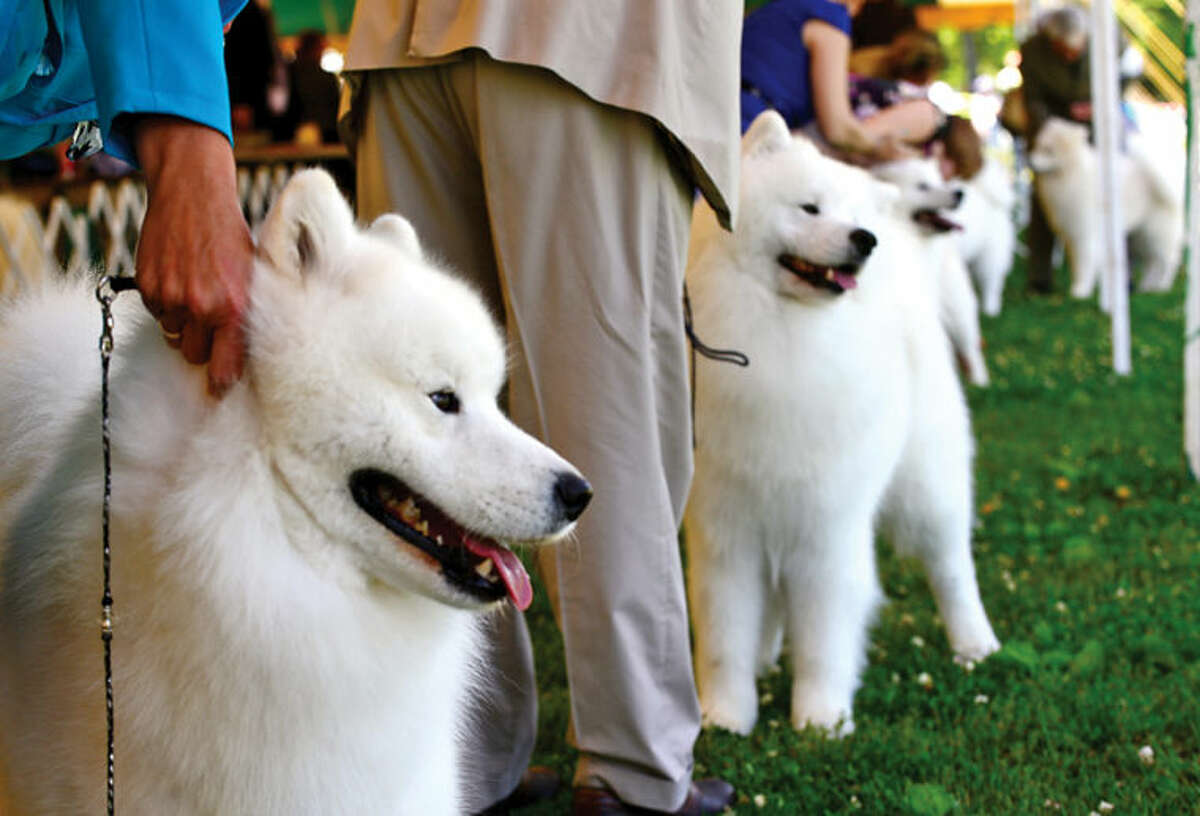 Samoyeds compete in The Greenwich Kennel Club All-Breed Dog Show, Obedience & Rally Trial at Taylor Farm Saturday,
