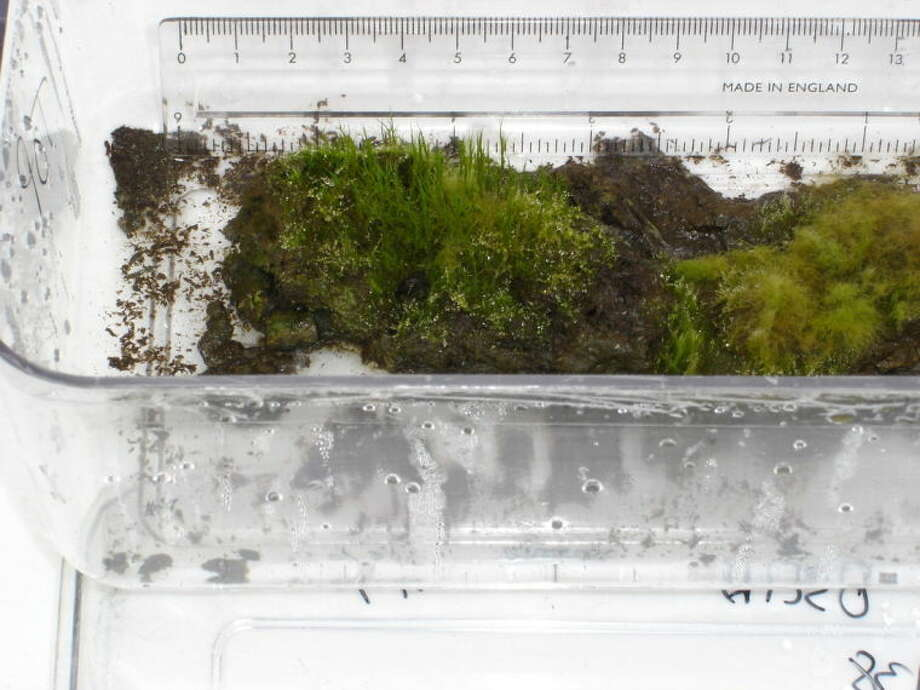 This image provided by the British Antarctic Survey shows a plant that scientists revived which was frozen beneath the Antarctic ice and seemingly lifeless since the days of Attila the Hun, The simple moss was about 1,600-year-old, black and looked dead, but when it thawed in a British laboratory incubator it grew again. British Antarctic Survey ecologist Peter Convey said the moss was visibly greening with new shoots after three weeks. He said scientists didn't do anything to make it grow except squirt it with distilled water. (AP Photo/British Antarctic Survey, Esme Roads)