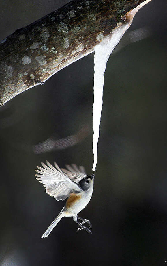 In this Sunday, March 22, 2015 photo, a tufted titmouse drinks maple sap dripping from an icicle that formed on a broken limb of a maple tree in Marshfield, Mass. (AP Photo/The Patriot Ledger, Greg Derr)