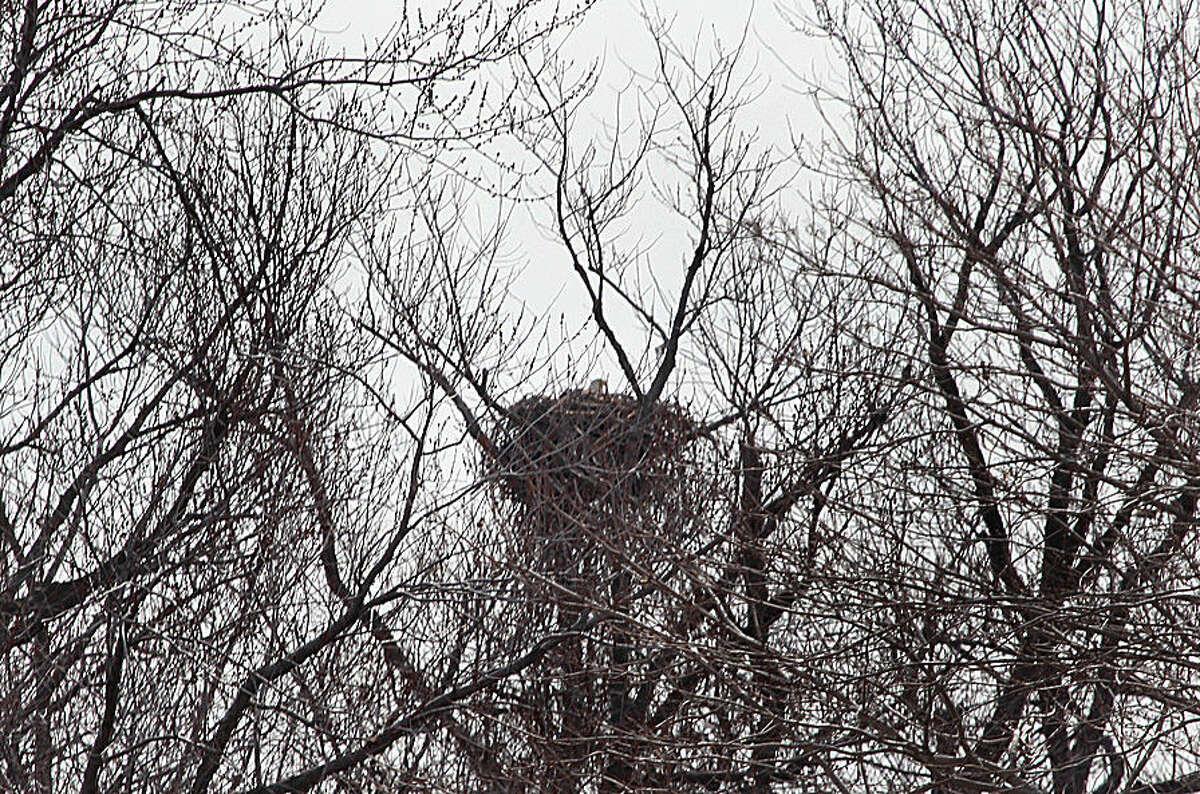 Hour photo/Chris Bosak A Bald Eagle sits on a nest on Chimon Island off the coast of Norwalk on Wednesday.