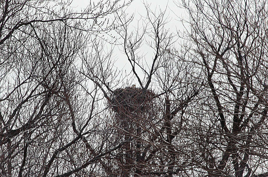 Hour photo/Chris Bosak A Bald Eagle sits on a nest on Chimon Island off the coast of Norwalk on Wednesday.