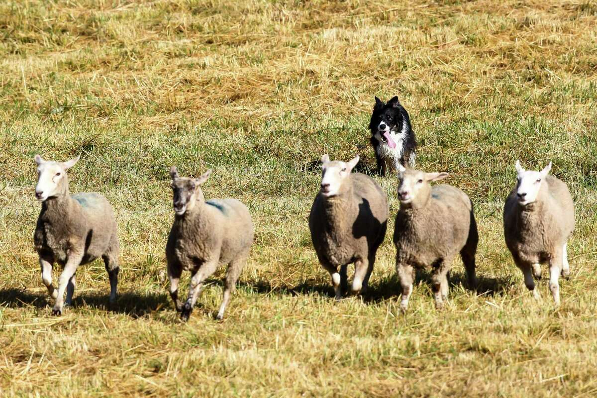 Jake, a border collie from Caldwell, Idaho, herds sheep during the annual Vashon Sheepdog Classic at Misty Isle Farms on June 10, 2016. Competitors are ranked using a 100-point scale; each individual task is worth a fraction of the points.
