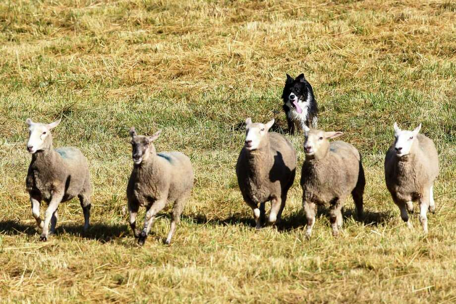 Jake, a border collie from Caldwell, Idaho, herds sheep during the annual Vashon Sheepdog Classic at Misty Isle Farms on June 10, 2016. Competitors are ranked using a 100-point scale; each individual task is worth a fraction of the points. Photo: LACEY YOUNG, SEATTLEPI.COM / Other