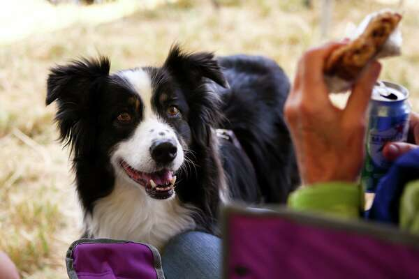 Dash, a ten-year-old Austrailian Shepard, looks up at the hands of a dessert-holding spectator at the Vashon Sheepdog Classic on June 10, 2016. Dash is a therapy dog and does not compete in the sheep herding events.