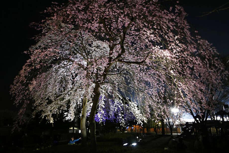 A man admires cherry blossoms lit up at night in a park in Kawasaki, near Tokyo, Friday, March 28, 2014. (AP Photo/Shuji Kajiyama)