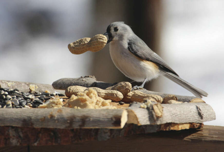 Photo by Chris BosakA Tufted Titmouse takes a peanut from a new bird feeder in Danbury, Conn., March 2016.