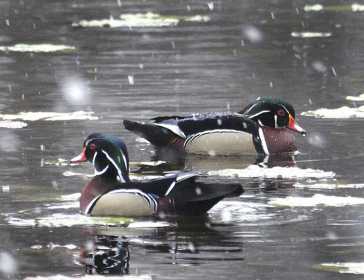 Photo by Chris Bosak Wood Duck drakes swim at Woods Pond in Norwalk during an early April snow fall.