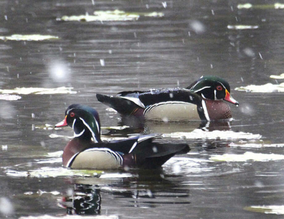 Photo by Chris BosakWood Duck drakes swim at Woods Pond in Norwalk during an early April snow fall.