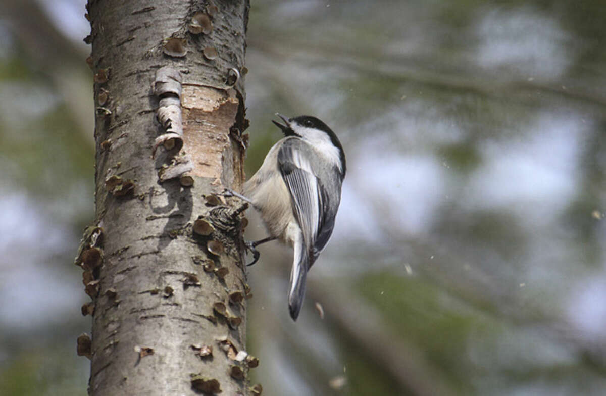 Photo by Chris Bosak A Black-capped Chickadee cleans out a hole for a home to raise a family this week.