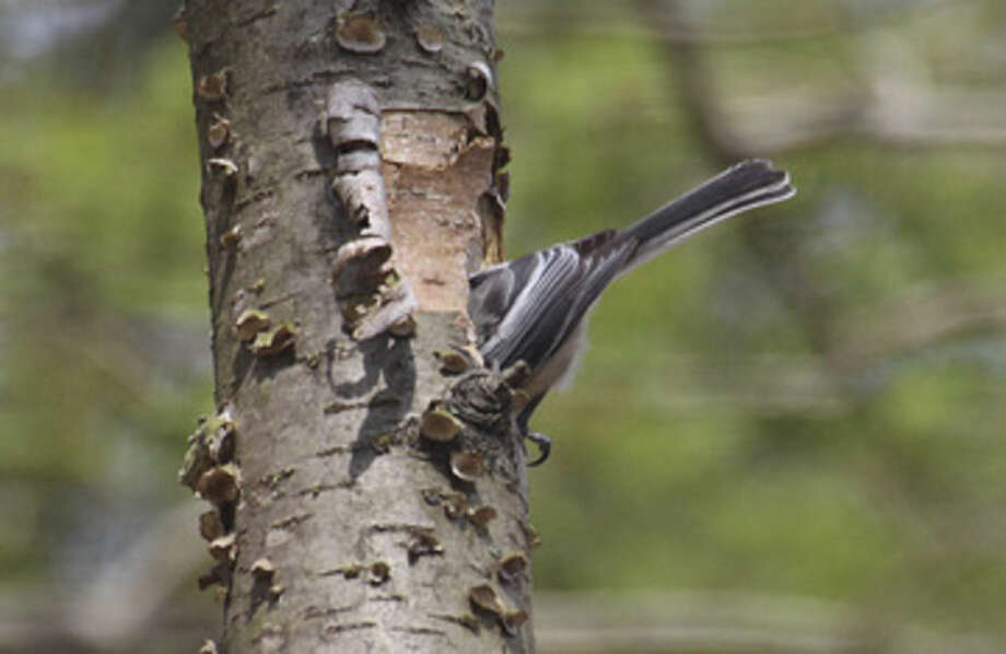 Photo by Chris BosakA Black-capped Chickadee goes into a hole it is cleaning out for upcoming breeding season.