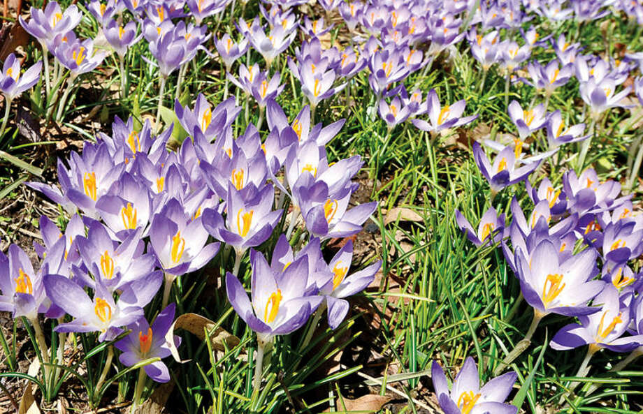 Hour photo / Erik Trautmann A warm sprind day brings crocuses into full bloom along William St. in Norwalk.