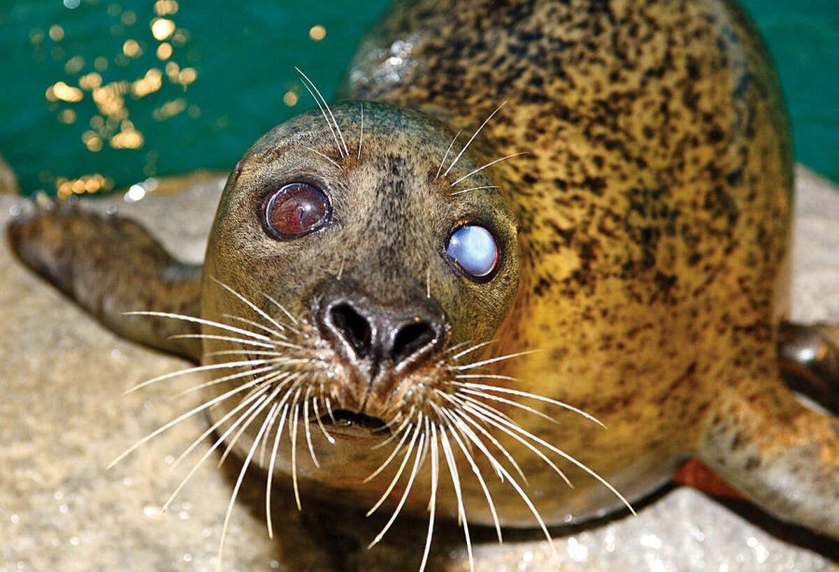 Hour photo / Erik Trautmann The Maritime Aquarium 's harbor seal, Orange, is featured in a new Samsung commercial.