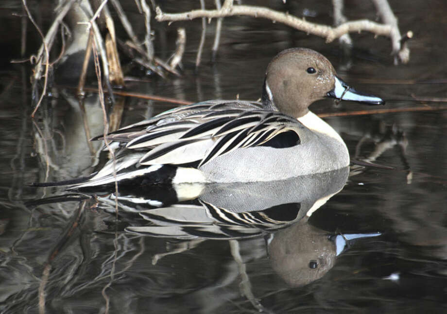 Photo by Chris BosakA Northern Pintail drake in a pond in Danbury this week.