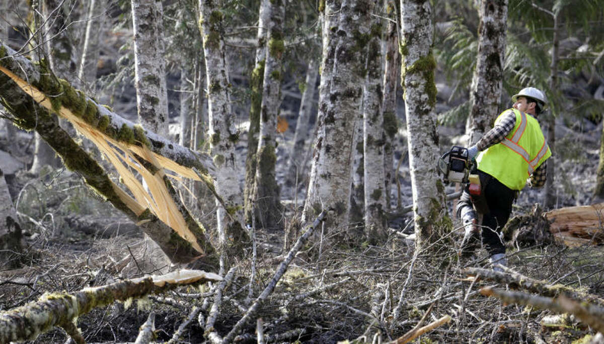 A logger leans back as he watches the tree he was cutting fall as he works to clear an area at the edge of a deadly mudslide, Wednesday, April 2, 2014, in Oso, Wash. Officials have so far confirmed the deaths of 29 people, although only 22 have been officially identified in information released Wednesday morning by the Snohomish County medical examiner's office. (AP Photo/Elaine Thompson)