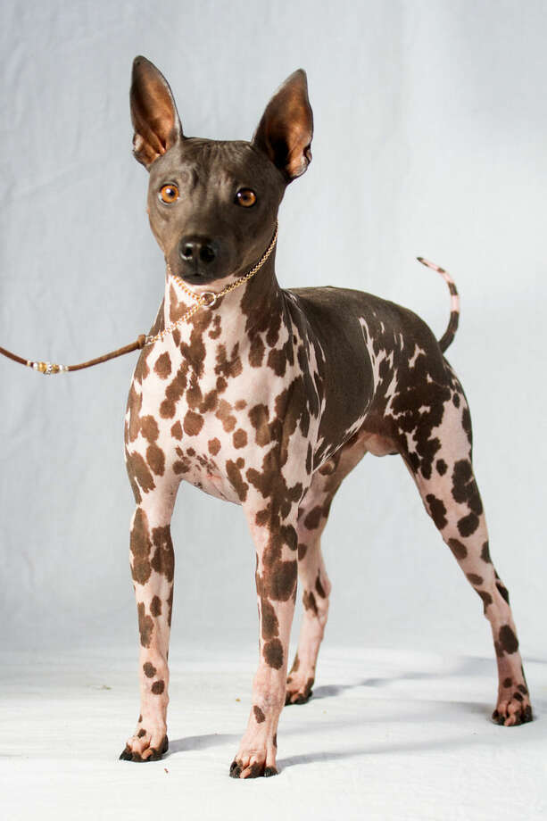 This undated photo provided by the American Kennel Club (AKC) shows an American Hairless Terrier, one of two newcomers recognized by the AKC that can now compete in most of the organizations shows and competitions, though not at the prominent Westminster Kennel Club show until next year. The two new breeds announced Tuesday, Jan 5, 2016, are the hairless terrier and a sloughi, also called the Arabian greyhound. (American Kennel Club via AP)