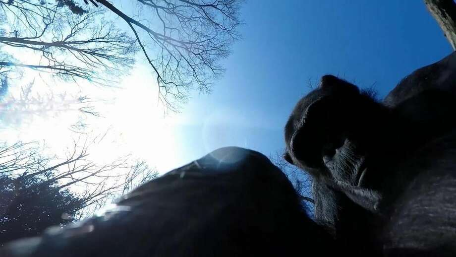 In this image taken from video on Friday April 10, 2015 provided by Royal Burgers' Zoo in Arnhem The Netherlands on Tuesday April 14, 2015, Tushi the chimpanzee looks down at a drone after knocking it to the ground with a stick. When the zoo sent out a drone over the Chimpanzee enclosure for a better look at how their 14 apes live, they quickly learned why they are that smart. With the unfamiliar entruder coming close to their trees, 23-year-old female Tushi waited in a tree, gritted her teeth and with two whacks from a long branch, downed the drone. (Royal Burgers' Zoo via AP) NO ARCHIVE 14 DAYS USE ONLY