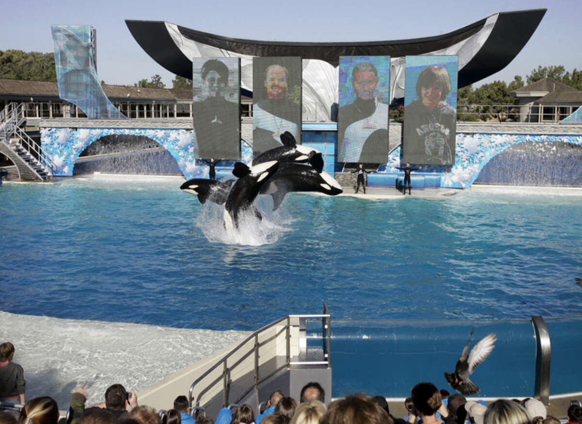 FILE - In this Nov. 30, 2006, file photo, four killer whales leap out of the water while performing during SeaWorld's Shamu show in San Diego. SeaWorld is acknowledging that it sent a worker to infiltrate animal rights groups who opposed the theme park. SeaWorld Entertainment CEO Joel Manby said Thursday, Feb. 25, 2016, that the company will no longer use the practice to spy on opponents. (AP Photo/Chris Park, File)